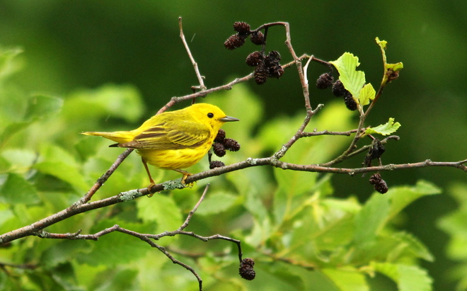 Yellow Warbler Fergus, ON