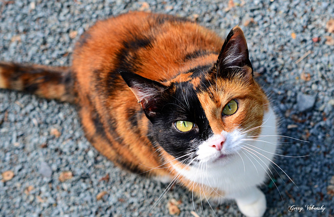 Calico Cat Or Not A Cat Dartmouth, NS