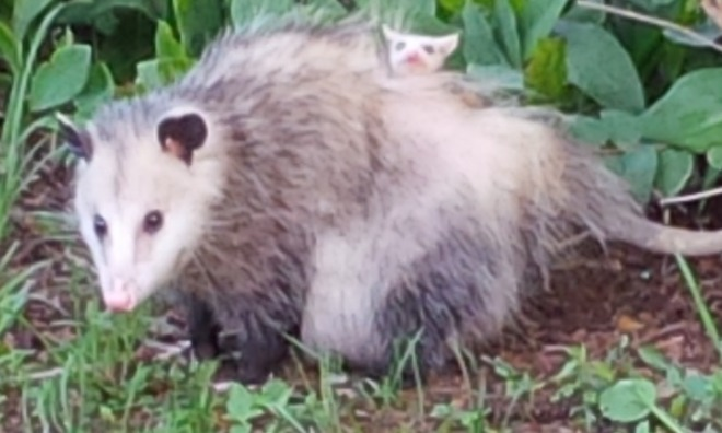 Mother Possum and her baby Kitchener, Ontario Canada