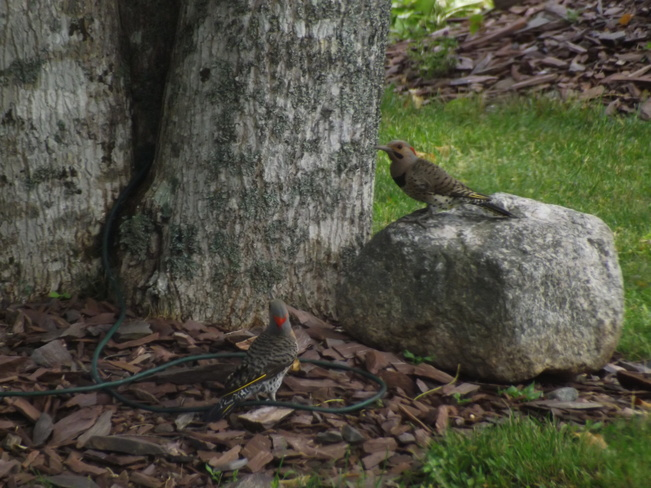 northern flickers Canaan, NS