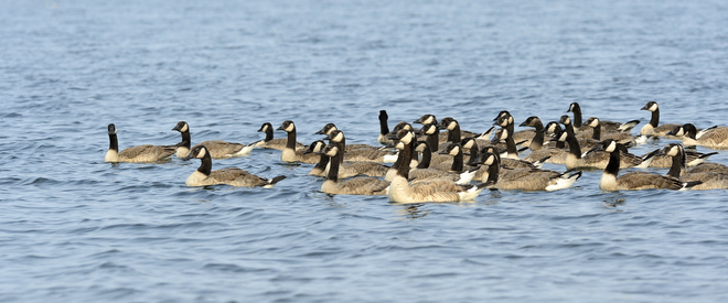 Floatilla of Geese. Brooks, Alberta