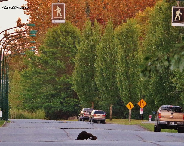 Incredible Proof That Beavers Don't Jaywalk..Momma Shows Kit Crosswalk Rules Burnaby, BC