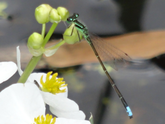 Eastern Forktail Damselfly... Cambridge, ON