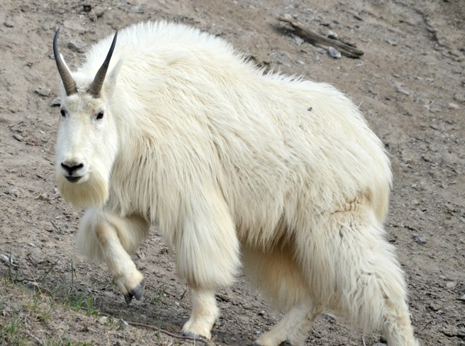Mountain Goat Jasper, AB