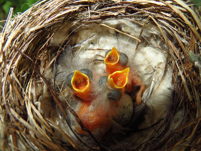 Just hatched and hungry Calgary, AB