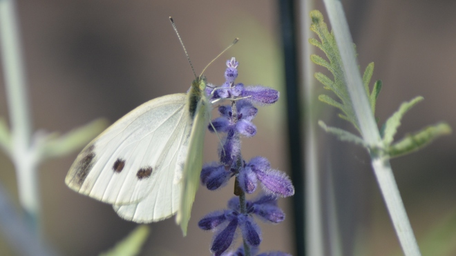 Cabbage White Butterfly! St. Catharines, ON