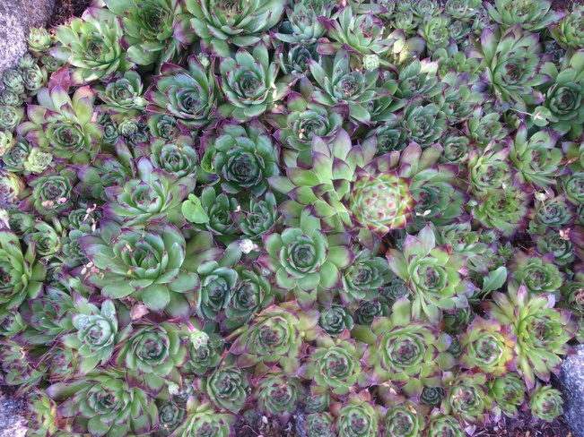 hens & chicks Saanich, British Columbia Canada
