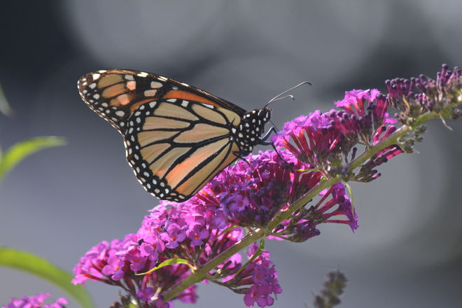 Side view of Monarch Butterfly! St. Catharines, ON