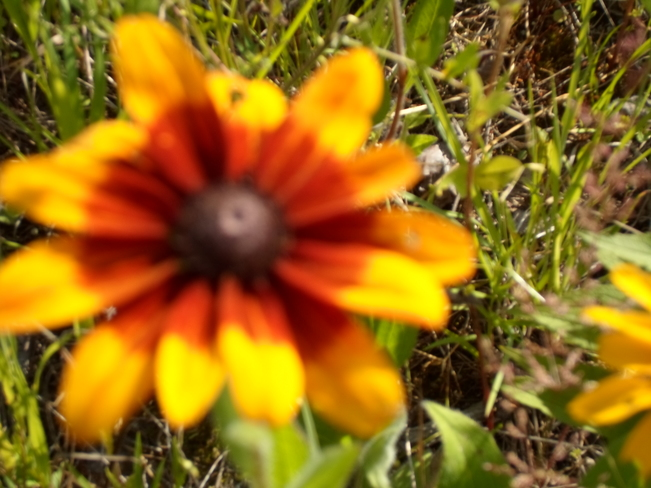 The Black Eyed Susan's are out in Full Bloom here in E.L. Elliot Lake, Ontario Canada