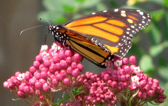 Monarch Butterfly finds milkweed to feed. Thunder Bay, ON