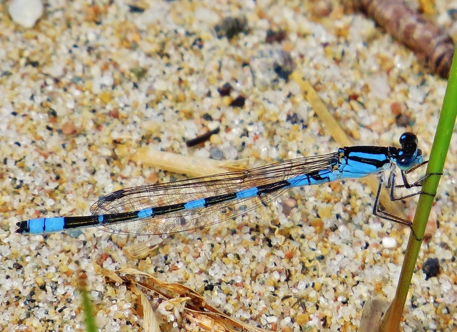 Damselfly singing The Blues. North Bay, ON