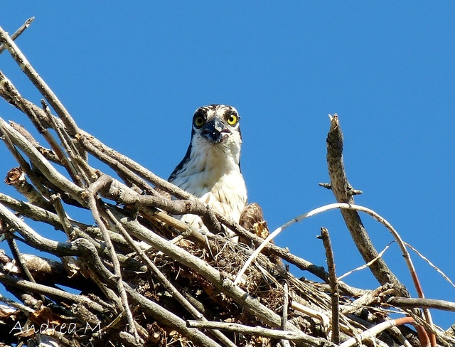 An Osprey is looking down on me... Smiths Falls, ON