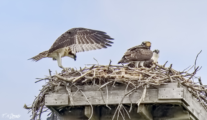 Adult osprey coming to the nest with two chicks Smiths Falls, ON