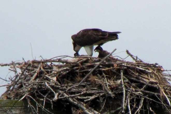Chicks being fed in Osprey nest London, ON