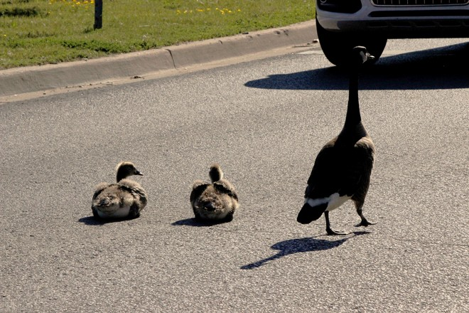 Young Canada Geese taking nap on the road !! Richmond Hill, ON