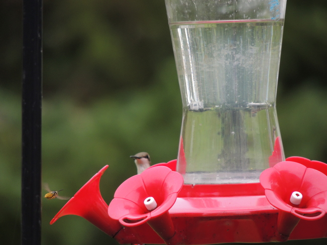 Weekend Hummingbirds Nanticoke, ON