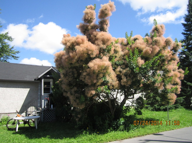 Smoke tree Cornwall, On