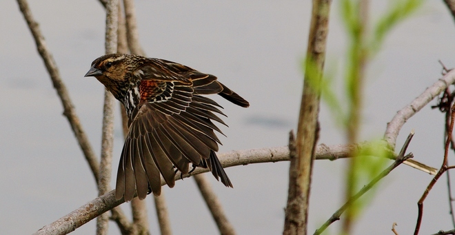Female Red winged Blackbird Scarborough, Toronto, ON