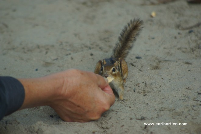 The Campground Chipmunk Long Point, Ontario Canada