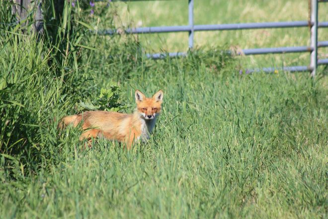 Fox at Gate-On the Hunt Temiskaming Shores, ON