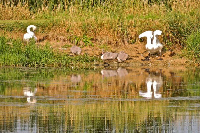 Why Trumpeter Swans Grow so Fast