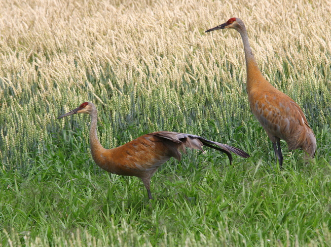 Sandhill Cranes Fergus, ON