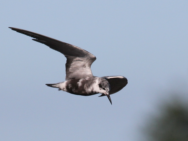 Black Terns Fergus, ON