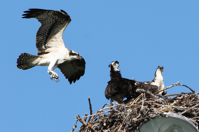 Osprey fledgling flying back to nest Amherstview, Ontario Canada