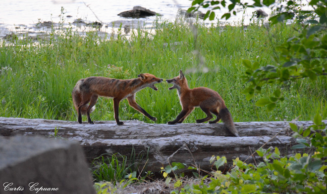 What does the fox (or the other fox) say? Fort Erie, ON