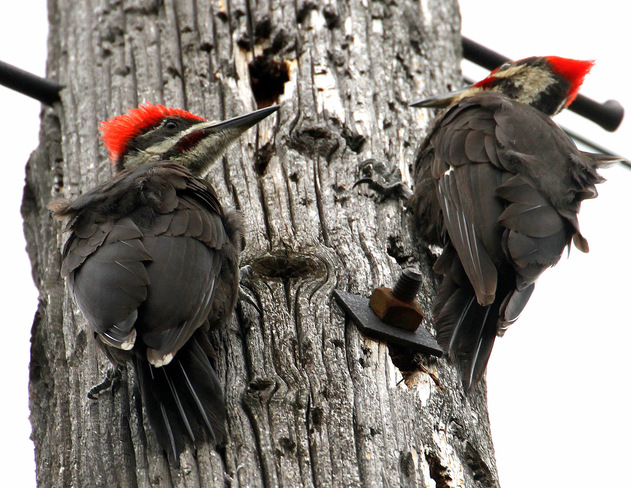 Pair of Pileated Woodpeckers Ottawa, ON