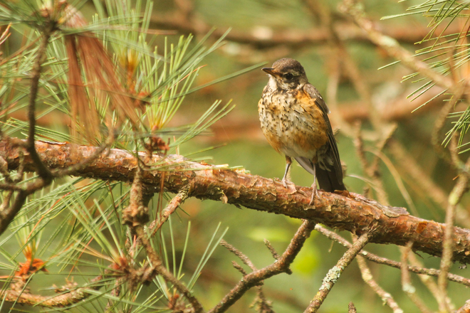Young Robin in the pines Kingston, Ontario Canada