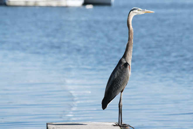 GBH standing tall Kingston, Ontario Canada