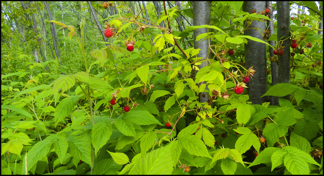 Raspberries, Elliot Lake.