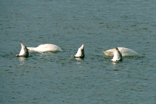 Synchronized Swan Diving Gold Medal Performance