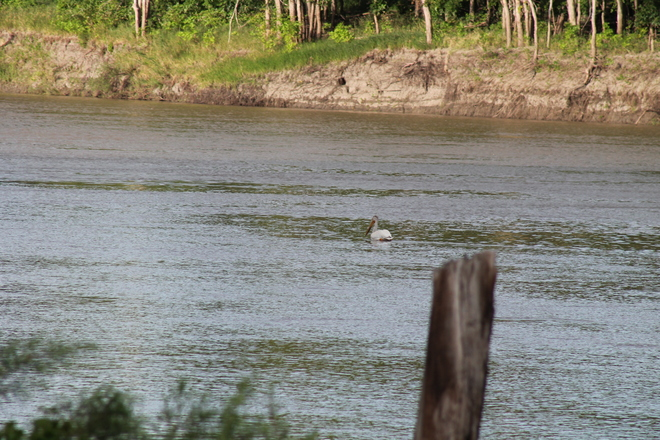 Pelican on the Red River Saint Jean Baptiste, MB