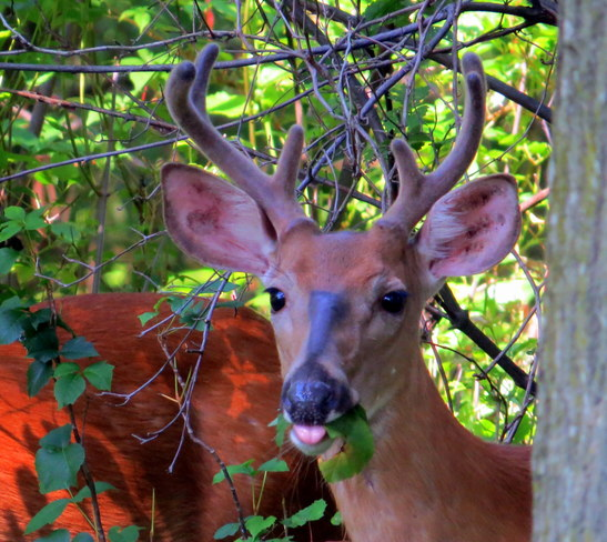buck in our yard Somerset, NJ, United States