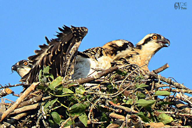 Young Feuding Ospreys Dartmouth, NS
