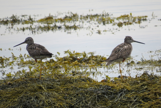 Greater Yellowlegs: Balancing Act Schnare Cove, Chester, NS