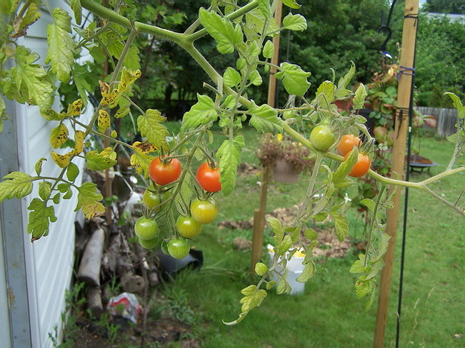 Cherry Tomatoes Greater Sudbury, Ontario Canada