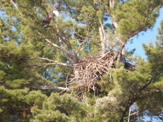 Bald eagle eaglet first spotted in nest June 3 2014 see next pic for July 27 pic Gogama, ON