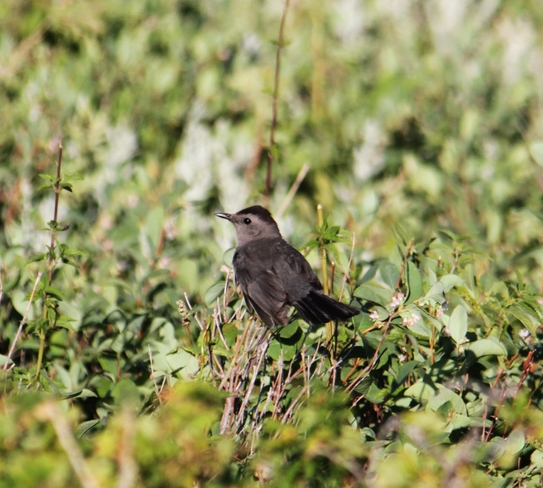 catbird Brooks, AB