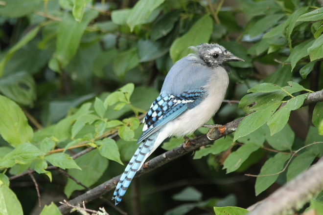 Bluejay's Head is Molting! Kingston, ON