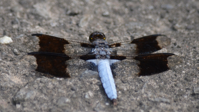 Male Common Whitetail Dragonfly! St. Catharines, ON