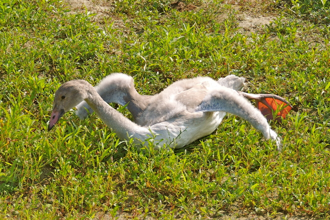 Trumpeter Swan Cygnet Does Pushups