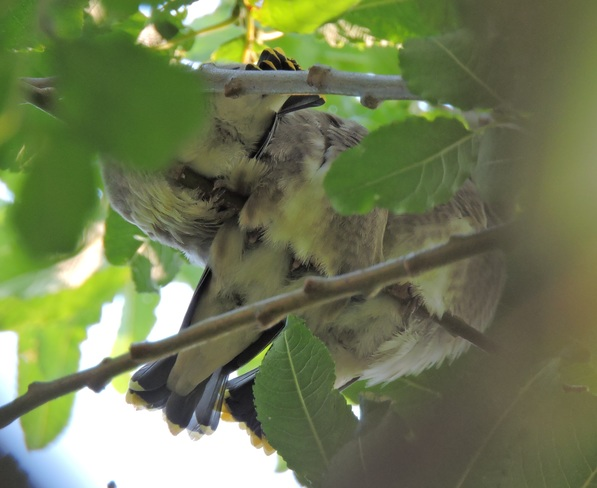 BABY CEDAR WAXWINGS Burlington, ON