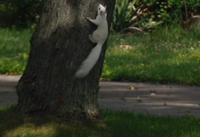 white squirrel Zurich, ON