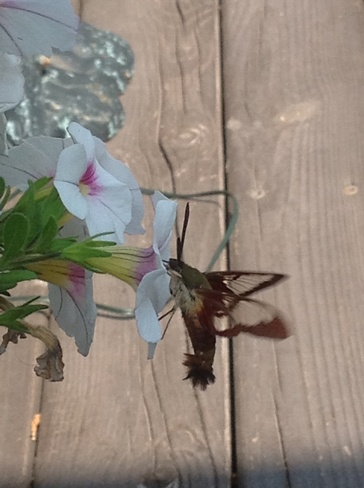 Hummingbird Moth Riverview, NB