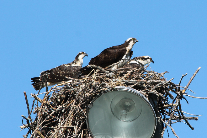 Osprey Family Amherstview, ON