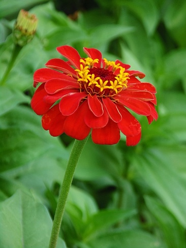 Zinnia North Ridge, Ontario Canada