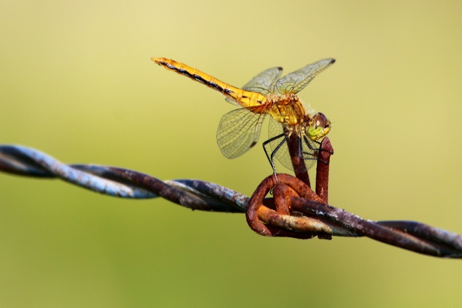Dragonfly on a barbed wire fence Fosston, sk